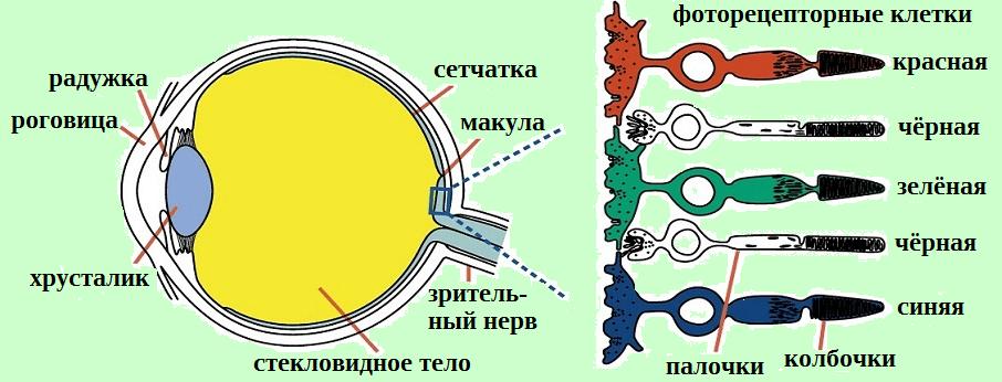 фоторецепторные клетки глаза более